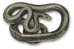 Rat snake - Snake that eats rats, not rat that eats snakes. (Can you imagine???? *shudder*)