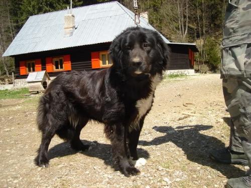 Romanian shepherd Corb - Ciobanesc Corb - a new Romanian Shepherd