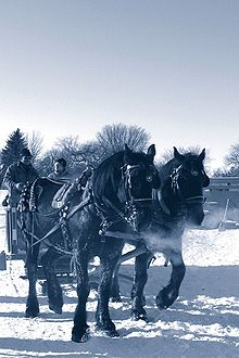wintertime - A pair of draft horses pulling a sleigh.