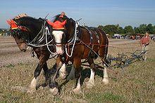 Shire Horses - Shire horses ploughing.