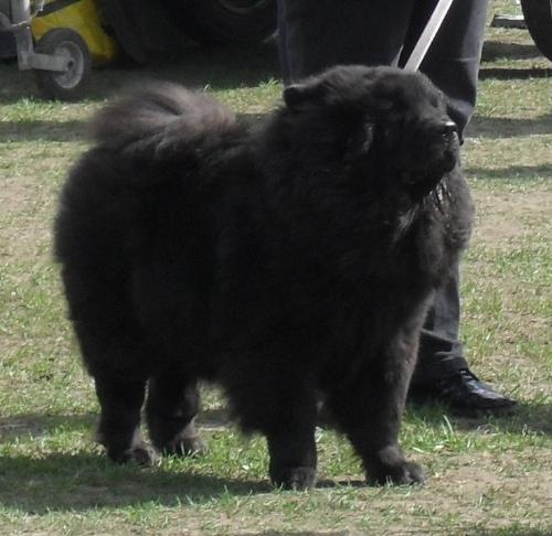 Chow Chow - In the show ring at CAC Brasov 2011