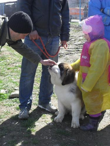 Saint Bernard puppy - Waiting to enter the show ring at CAC Brasov 2011