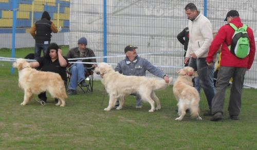 Golden Retrievers - In the show ring at CAC Brasov 2011