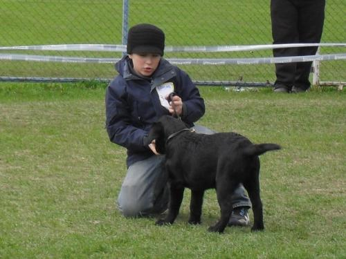 Labrador puppy - In the show ring at CAC Brasov 2011