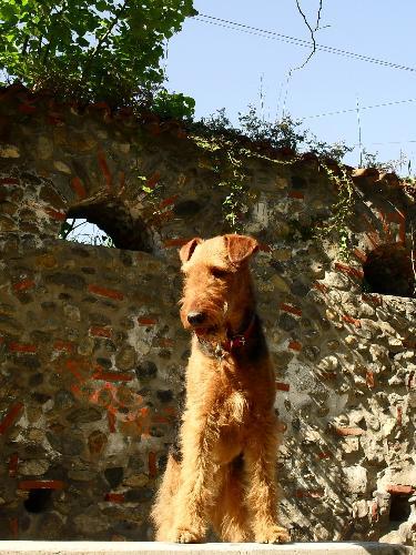 My dog, Binne - Binne is a 17 months old Airedale Terrier girl