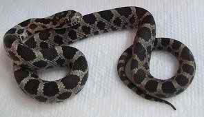 fox snake  - this kind of snake is non venomous