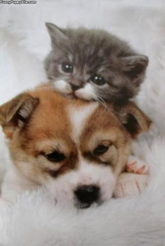 A random act of kindness - A kitten resting it's head on the head of a puppy.