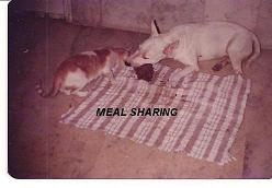 Dog and cat getting together - Our dog Rana a Bull Terrier got along fine with our cat