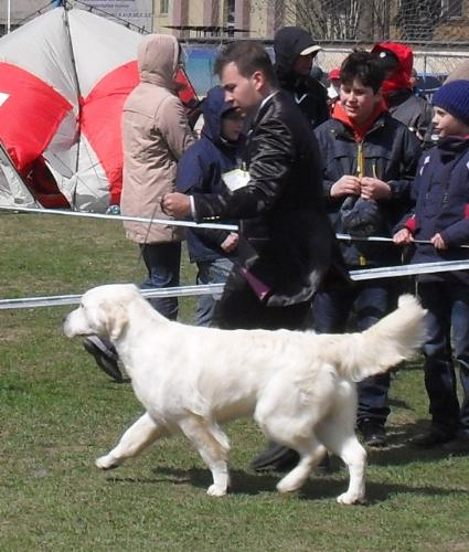 Golden Retriever - In the show ring at CAC Brasov 2011