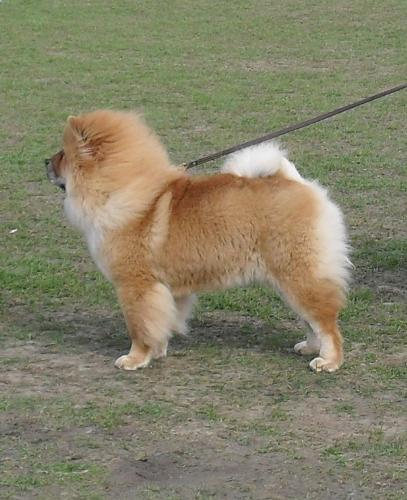 Chow Chow - Waiting to enter the show ring at CAC Brasov 2011
