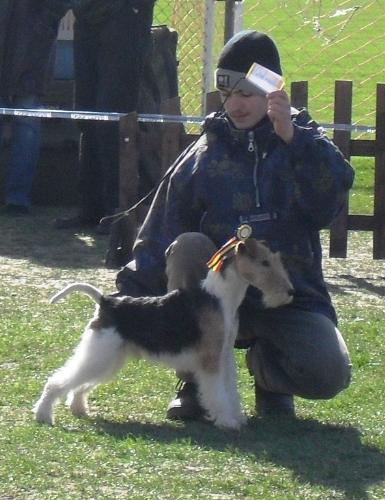 Fox Terrier - Waiting to enter the show ring at CAC Brasov 2011