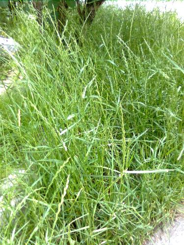 Grass - Did you know there are over 1.000 grass species world wide ?