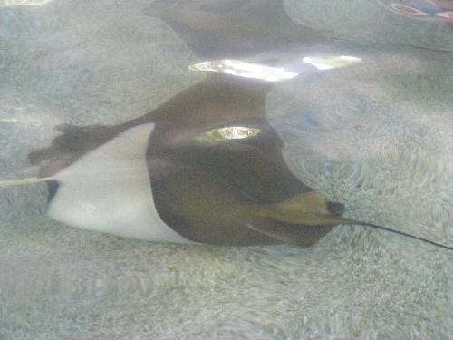 Sting ray at the Phoenix Zoo - Petting the sting ray was really cool