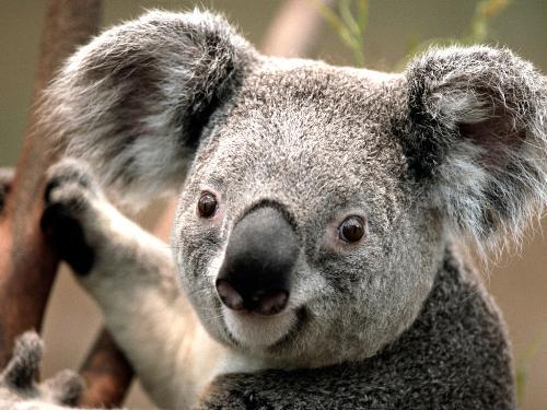 koala - Koala is found in coastal regions of eastern anad southern Australia.