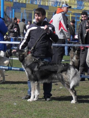 Romanian Shepherd - Carpatin - Waiting to enter the show ring at CAC Brasov 2011
