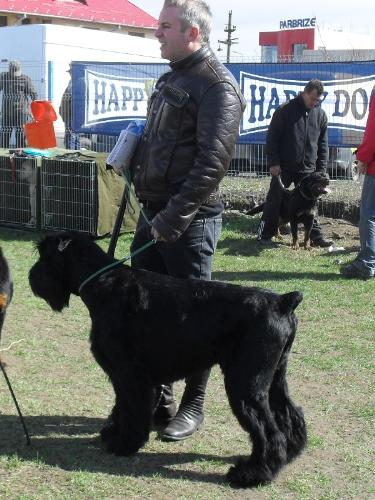 Giant Schnauzer - Waiting to enter the show ring at CAC Brasov 2011