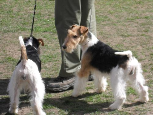 Fox Terriers - Waiting to enter the show ring at CAC Brasov 2011