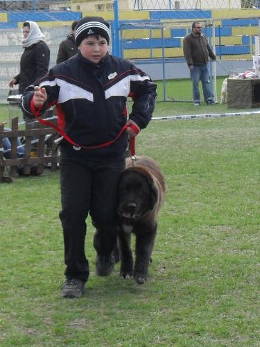 Romanian Shepherd Corb - Waiting to enter the show ring at CAC Brasov 2011