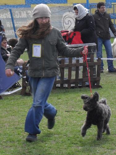 Pumi - in the show ring at CAC Brasov 2011