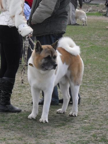 American Akita - Waiting to enter the show ring at CAC Brasov 2011