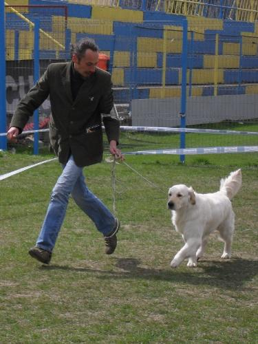 Golden Retriever - being judged the show ring at CAC Brasov 2011