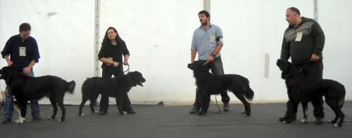 Romanian shepherd Corb - Ciobanesc Corb is its original name