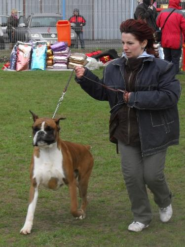 Boxer - In the show ring at CAC Brasov 2011