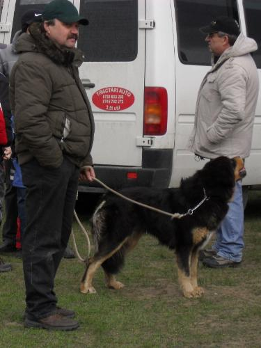 Hovawart - Waiting to enter the show ring at CAC Brasov 2011
