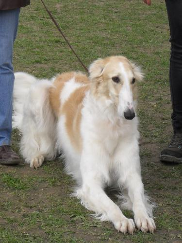Borzoi - Waiting to enter the show ring at CAC Brasov 2011