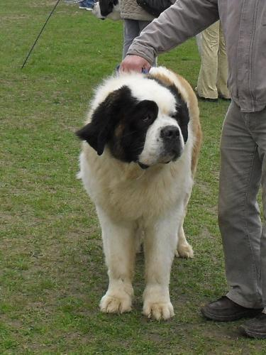 Saint Bernard - Waiting to enter the show ring at CAC Brasov 2011