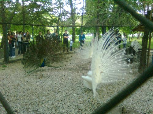 Clear photo of peacocks - here are several peacocks performing for the gasping crowd in Herastrau Park, Bucharest, Romania.
