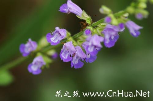Sage - Sage my flower