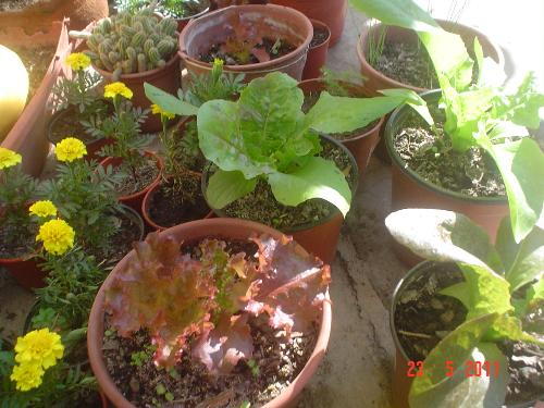 Letuce in containers - My lettuce are doing nicely, considering that it´s Autumn