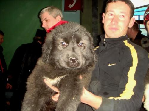 Romanian shepherd Corb - Ciobanesc de Dambovita Corb