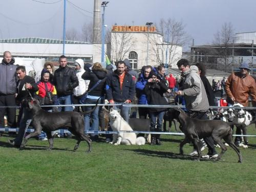 Great Danes - In the show ring at CAC Brasov 2011