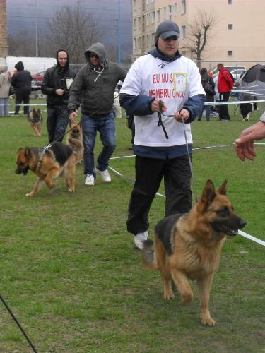 German Shepherds - In the show ring at CAC Brasov 2011