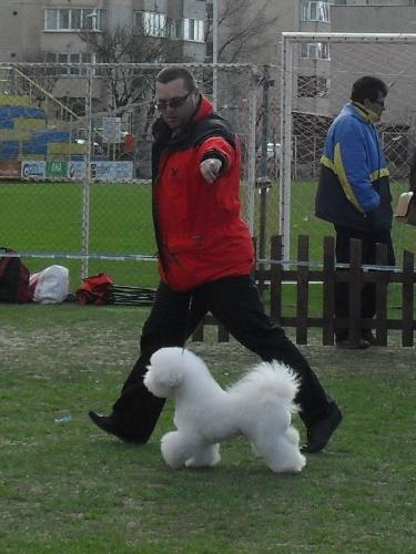 Bichon a Poil Frise - In the show ring at CAC Brasov 2011