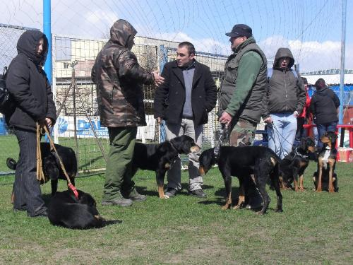 Transylvanian Hound - Waiting to enter the show ring at CAC Brasov 2011