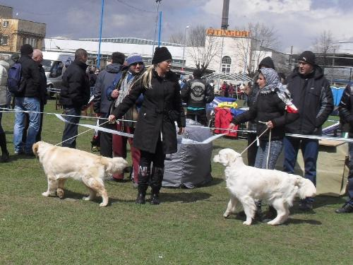 Golden Retrievers - Waiting to enter the show ring at CAC Brasov 2011