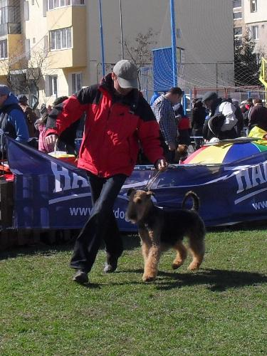 Airedale - In the show ring at CAC Brasov 2011