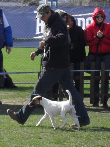Smooth Fox Terrier - In the show ring at CAC Brasov 2011