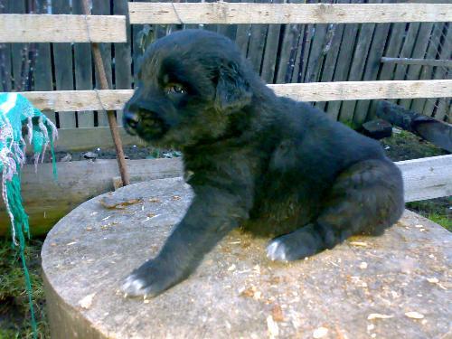 Romanian shepherd Corb - Ciobanesc negru de Dambovita - Corb