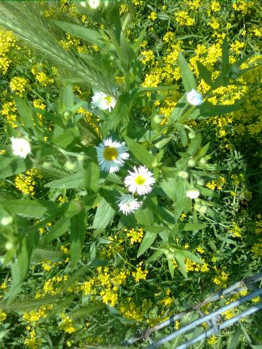 Wild flowers - The white ones look like camomile but they are not.