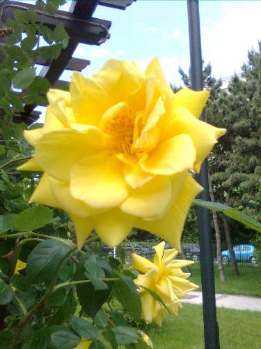 Yellow Rose - here is a yellow rose from Bucharest, Romania, in a park near my home.