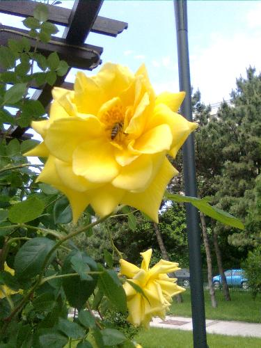 Yellow Rose with bee - Here is a bee colecting nectar from the yellow rose she's in.