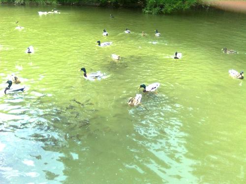 Feeding Frenzy - ducks and fish 1 - This is one of the pictures taken today, 26 of may here in Bucharest Romania in A.I.Cuza Park where we fed them with seed bread.