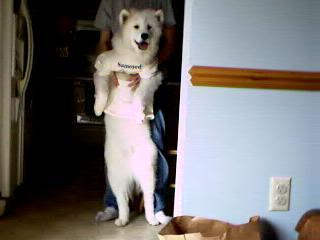 Samoyed the elder dog at home - Samoyed my elder dog at his dress!