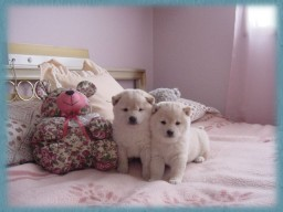 Shiba Inu Puppies at my sisters home - I love Shiba Inu puppies, they are the most adorable ones!