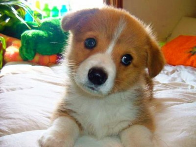 Cute Welsh Corgi Type puppy - Welsh Corgi who is 4 months old. He is the little one at home, very timid and fearful.