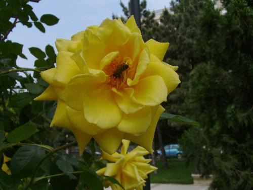 Yellow rose and bee - A yellow rose and a bee getting the nectar.